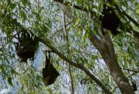 024 - Flying Foxes - Fledermaus mit Fell und Uebergroesse